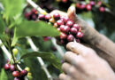 ¿Por qué las metas oficiales de la cosecha cafetalera 2021-2022 no serán fáciles de lograr?