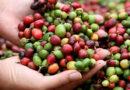 Café nicaragüense ha inyectado al país 447 millones de dólares